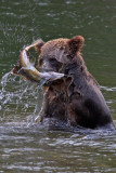 Grizzly Bears & Salmon
