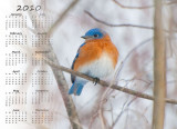Eastern bluebird, North Chagrin Nature Center copy.jpg