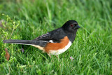 Eastern Towhee (formerly Rufous-sided Towhee)