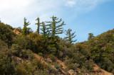 Chap. 8-6, Big Cone Spruce.jpg