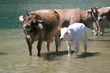 cows in the lake.