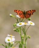 papillon orange
