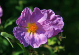 purple rockrose