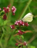 papillon ...