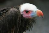 vautour à tête blanche.