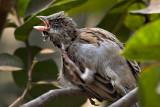 House Sparrow preening