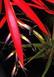Hybrid Form of Fuchsia, -27-