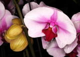 Orchid, -34-