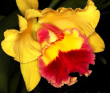 Unusual Color Orchid, -39-