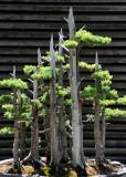 Bonsai Growth - Miniature Juniper Forest