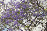 Beautiful Jacaranda Tree in Bloom