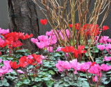 Beautiful begonias, out on sidewalk!