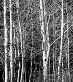 Aspens in Black & White Image.