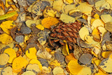 Pine cone keeping company with pretty leaves!