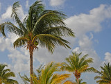 Lovely coconut palm trees
