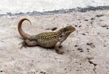 Unusual Curved-tail Lizard