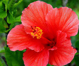 Light-red Hibiscus