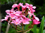 Hawaiian Plummeria blossoms