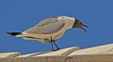 Loud seagull saying goodbye to us!