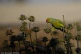 Rose-ringed Parakeet_8088