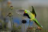 Rose-ringed Parakeet_8118