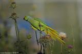Rose-ringed Parakeet_8121