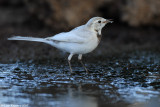 White Wagtail_7166