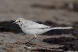 White Wagtail_7290