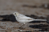 White Wagtail_7291