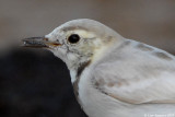 White Wagtail_7291 (croped)
