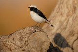 Mourning Wheatear_8249
