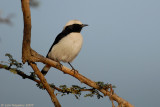 Mourning Wheatear_8225