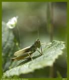 Grasshopper preparing its antennas