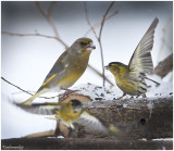 Family  Greenfinch