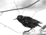 A starling in BW