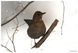 Mum Blackbird