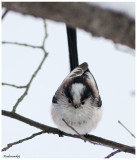 Tit With Long Queue