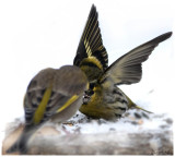Little Siskin Protecting his Food Territory
