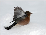 Little Chaffinch taking off