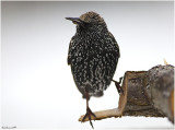 Starling posing for me