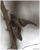 The Starling in the Wind of Snow