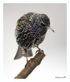 TheStatue of the Starling