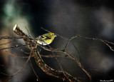 The Yellow Siskin in the  snow and in the dark