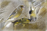 It was The Family GREENFINCH