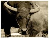 Buffalo  and his Baby