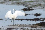 CAP COZ.Little EGRET and the Low Tide