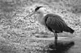 at 7:25 the Spasm of the Heron after that..
