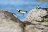 MOUSTERLIN.The Jump of a Turnstone