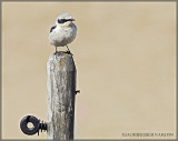 Male Wheatear
