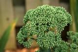 Sedum 'Autumn Joy' ready to burst into bloom (no, it is not broccoli)